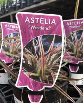 Astelia Westland