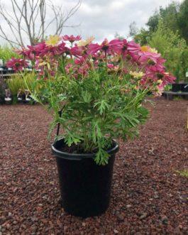 Argyranthemum – Marguerite Daisy