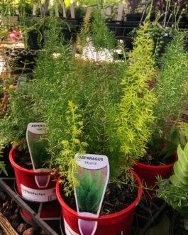 Foxtail Asparagus Fern
