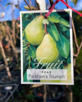 Packham's Triumph Pear