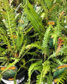 Prickly Rasp Fern
