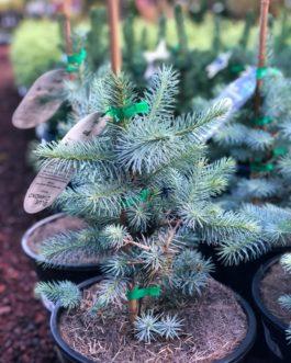 Picea 'Blue Diamond'