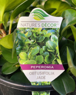 Peperomia 'Jade'