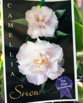 Weeping Camellia