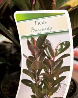 Rubber Plant 'Burgundy'