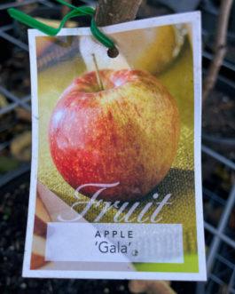 Apple 'Gala'