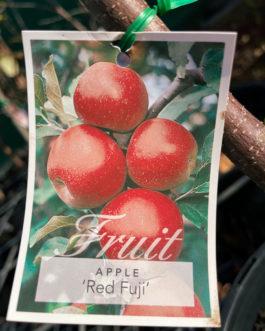 Apple 'Red Fuji'