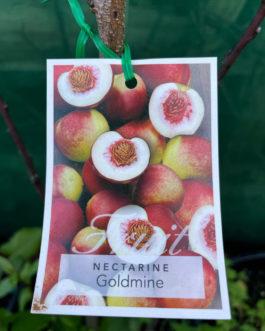 Nectarine 'Goldmine'