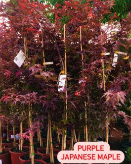 Purple Japanese Maple