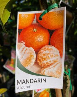 Dwarf Mandarin 'Afourer'