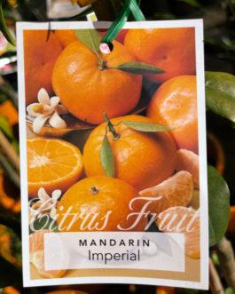 Mandarin 'Imperial'