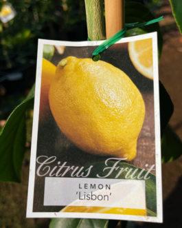 Lemon 'Lisbon'