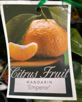 Mandarin 'Emperor'
