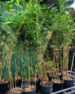 Bamboo 'Alphonse Karr'