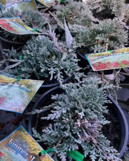 Juniperus 'Ice Blue'