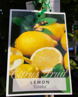 Lemon 'Eureka'