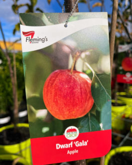 Dwarf Apple 'Gala'