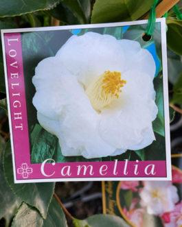Camellia 'Lovelight'