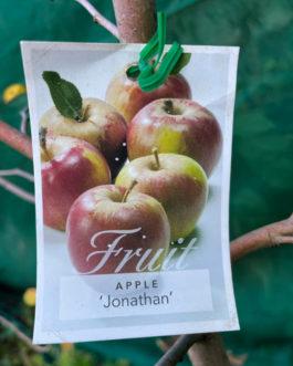 Apple 'Jonathan'