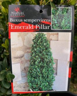 Buxus 'Emerald Pillar'