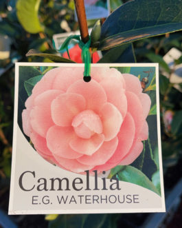 Camellia 'E.G. Waterhouse'
