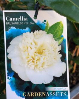 Camellia 'Brushfields Yellow'