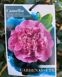 Camellia 'Donna Hertz'