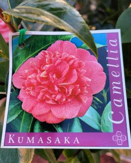Camellia 'Kumasaka'