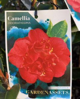 Camellia 'Odoratissima'