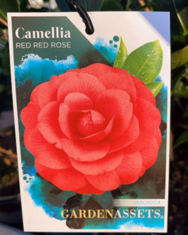 Camellia 'Red Red Rose'
