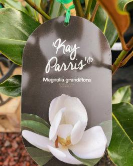 Magnolia 'Kay Parris'