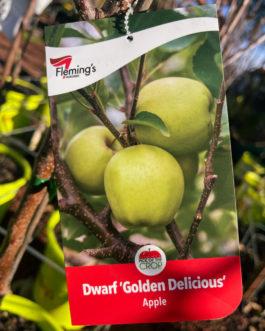 Dwarf Apple 'Golden Delicious'
