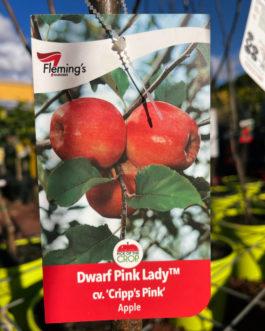 Dwarf Apple 'Pink Lady'
