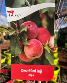 Dwarf Apple 'Red Fuji'