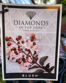 Lagerstroemia Diamonds in the Dark 'Blush'