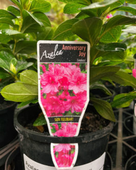 Azalea 'Anniversary Joy'