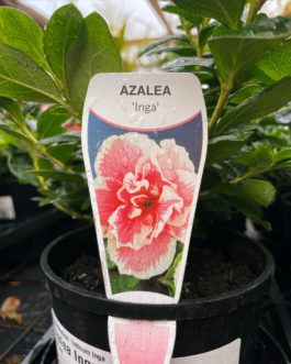 Azalea 'Inga'
