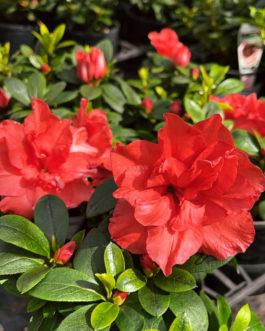 Azalea 'Guanda Red'