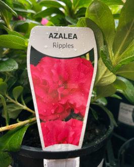 Azalea 'Ripples'