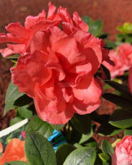 Azalea 'Guanda Pink'