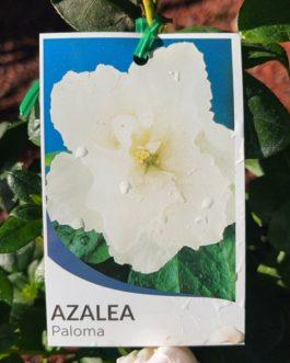 Azalea 'Paloma'