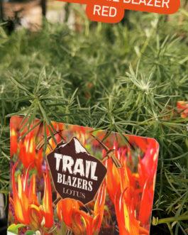 Lotus Trail Blazers Red Hanging Basket